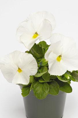 Фото-семена Виола витрокка Inspire® DeluXXe White
