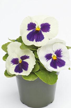 Фото-семена Виола витрокка Inspire® DeluXXe White Blotch