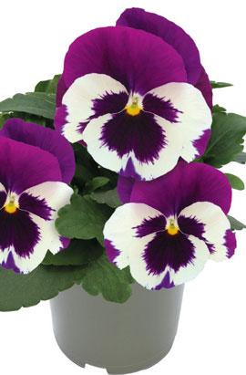 Фото-семена Виола витрокка Inspire® DeluXXe White Violet Wing