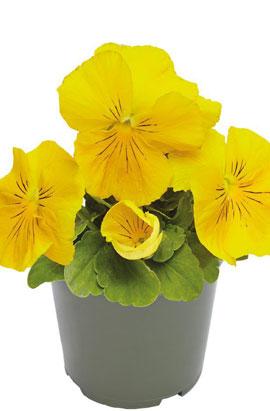 Фото-семена Виола витрокка Inspire® DeluXXe Yellow