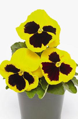 Фото-семена Виола витрокка Inspire® DeluXXe Yellow Blotch