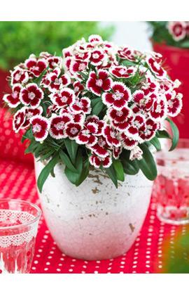 Фото-семена Гвоздика турецкая Diabunda F1 Red Picotee