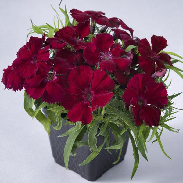 Фото-семена Гвоздика китайская  Venti Parfait F1 Crimson