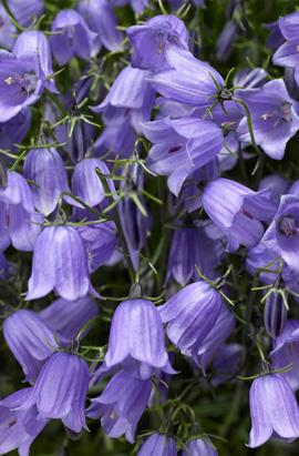 Фото-cемена Колокольчики Свингинг Беллс(SWINGING BELLS) синий