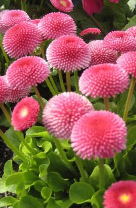 Фото-семена Маргаритка Tasso: Pink