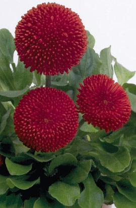 Фото-семена Маргаритка Tasso: Red