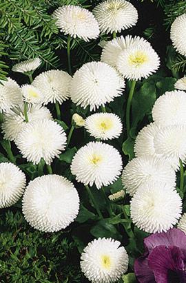 Фото-семена Маргаритка Tasso: White