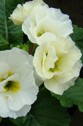 Фото-семена Примула махровая Primlet® White АР