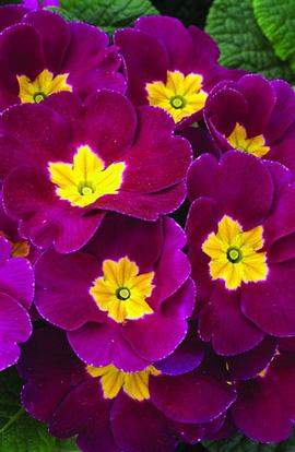 Фото-семена Примула acaulis Primera F1 Carmine