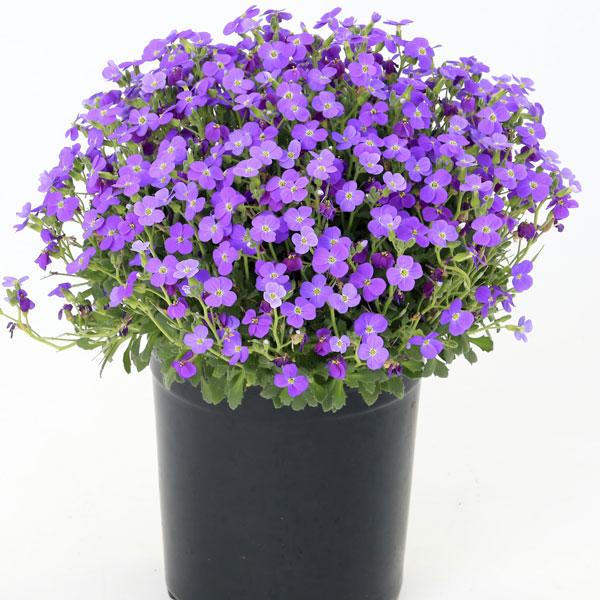 Фото-семена Обриета Audrey F1 Blue Shades