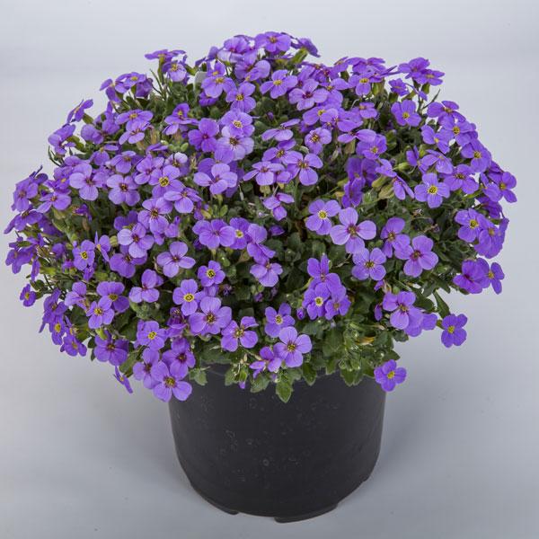 Фото-семена Обриета Audrey F1 Light Blue