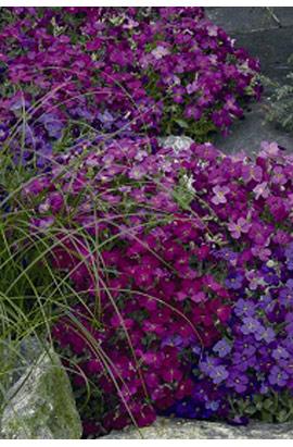 Фото-семена Обриета Audrey F1 Red Purple Міх