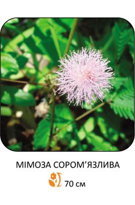 Фото-семена Мимоза стеснительная