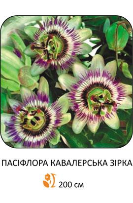 Фото-семена Пассифлора Кавалерийская звезда