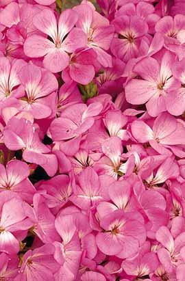 Фото-семена Пеларгония  Multibloom F1 Pink