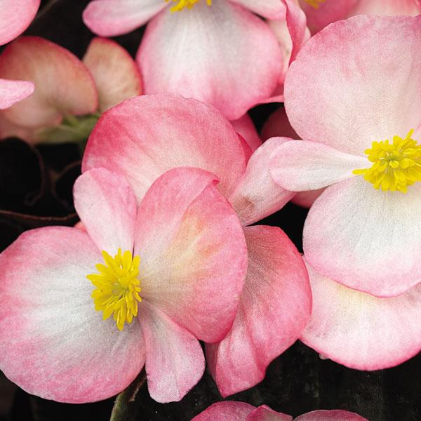 Фото-семена Бегония вечноцв. Bada Boom F1 Rose bicolor