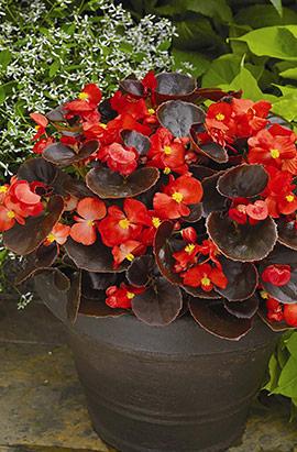Фото-семена Бегония вечноцв. Eureka F1 Bronze Scarlet