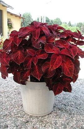 Фото-семена Колеус Wizard® Velvet Red