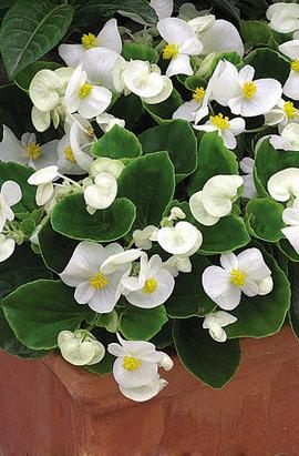 Фото-семена Бегония вечноцв. Eureka F1 White