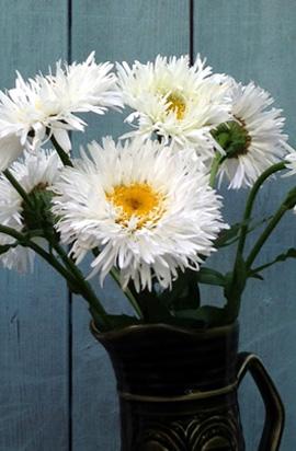 Фото-семена Ромашка махровая Crazy Daisy