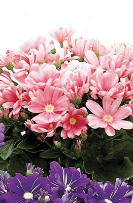 Фото-семена Цинерария (перикаллис) Satellite Rose & Pink Shades