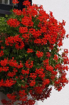 Фото-семена Пеларгония ампельная Tornado F1 Red