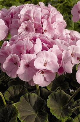 Фото-семена Пеларгония (герань) зональная  BullsEye F1 Light Pink