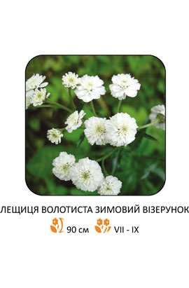 Фото-семена Гипсофила метельчатая Зимний  узор