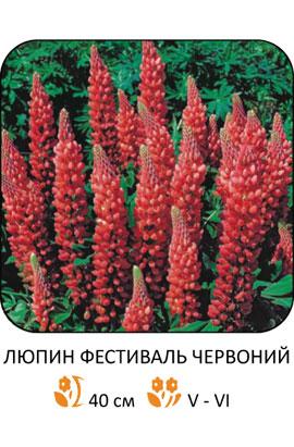 Фото-семена Люпин Фестиваль красный