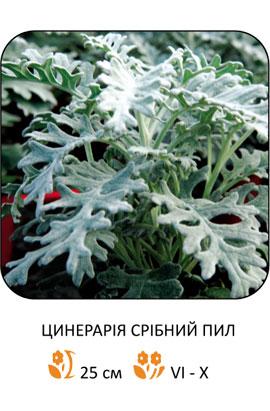 Фото-семена Цинерария приморская Серебряная пыль