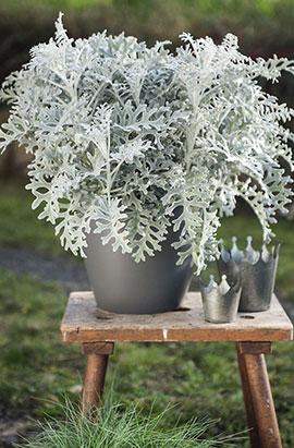 Фото-семена Цинерария приморская Silverdust   (Сильверадо), драже