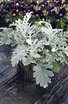 Фото-семена Цинерария приморская Silverdust (Сильверадо) драже