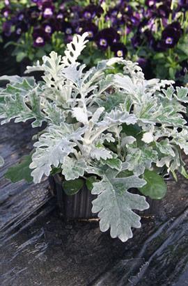 Фото-семена Цинерария приморская Silverdust (Сильверадо) недраж.