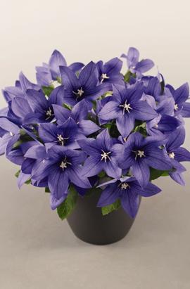 Фото-семена Платикодон Pop Star Blue / Синий