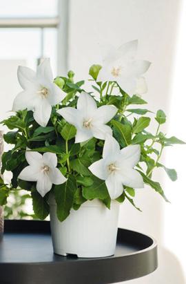 Фото-семена Платикодон Pop Star  White / Белый