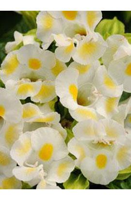 Фото-cемена Торения Kauai Lemon Drop