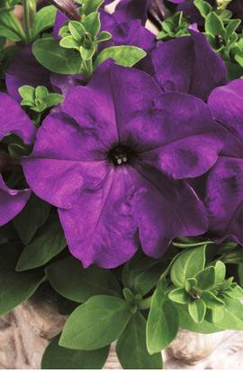 Фото-семена Петуния грандифлора Tritunia®F1 Blue (драже)