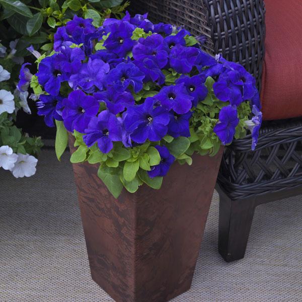 Фото-семена Петуния грандифлора Duvet®F1  Blue(драже)