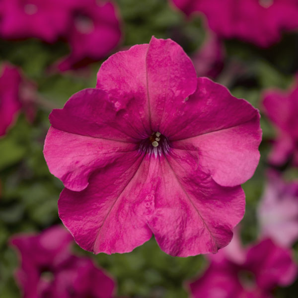 Фото-семена Петуния грандифлора Duvet®F1 Pink (драже)