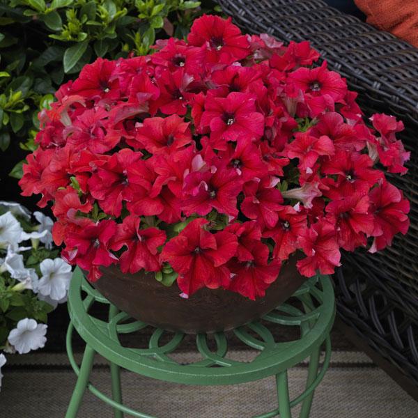 Фото-семена Петуния грандифлора Duvet®F1 Red (драже)