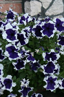 Фото-семена Петуния грандифлора Frost F1 Blue (драже)