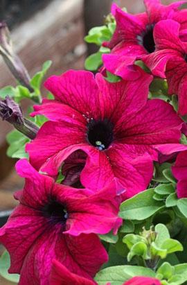 Фото-семена Петуния грандифлора TRITUNIA F1 Burgundy (драже)