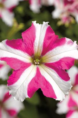 Фото-семена Петуния грандифлора TRITUNIA F1 Rose Star (драже)