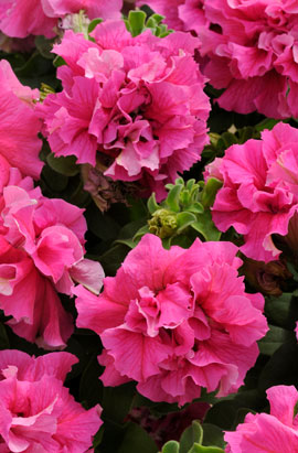 Фото-семена Петуния махровая Double Cascade F1 Pink (драже)