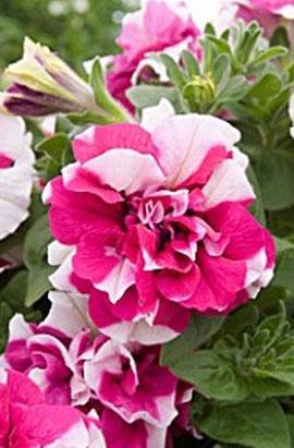 Фото-семена Петуния махровая Duo F1 Rose White (драже)