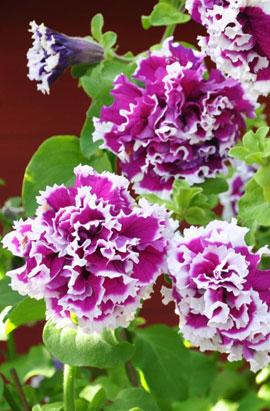 Фото-семена Петуния грандифлора махровая Pirouette F1 Purple (драже)