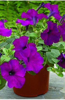 Фото-семена Петуния ампельная  Ramblin F1 Violet (драже)