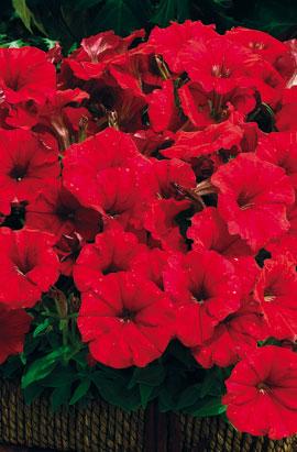 Фото-семена Петуния миллифлора  Picobella F1 Red (драже)