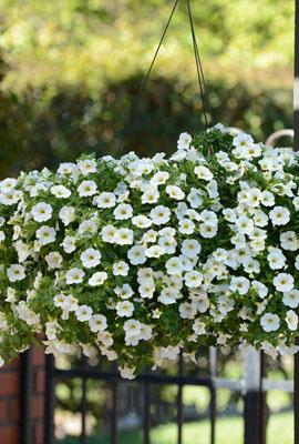 Фото-семена Калибрахоа Kabloom® White (драже)