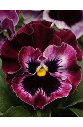 Фото-семена Виола витрокка  Frizzle Sizzle F1 Raspberry